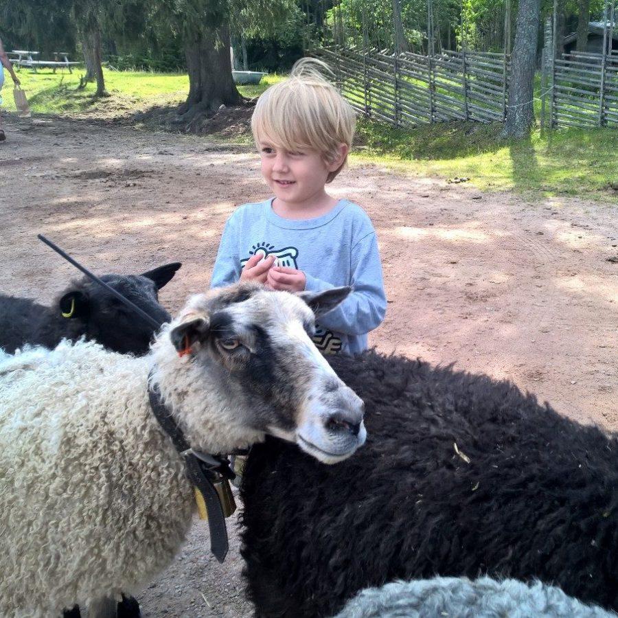 Ridley och fåren på Karl Tövåsens fäbod